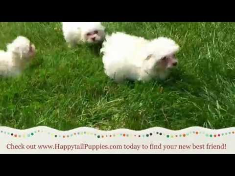 Maltese Puppies For Sale In NC