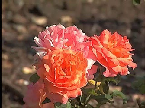 Landscape roses offer low maintenance flowers youtube for Pretty low maintenance flowers
