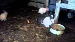 Домашнее кролиководство(Кому интересно. Организация домашнего кролиководства. Поголовье колеблется от 120 до 180 голов и три года..., 2014-05-19T22:50:16.000Z)