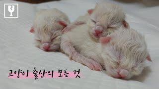 Ragdoll cat giving birth to 5 kittens