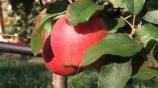 Berba jabuke u Titelu