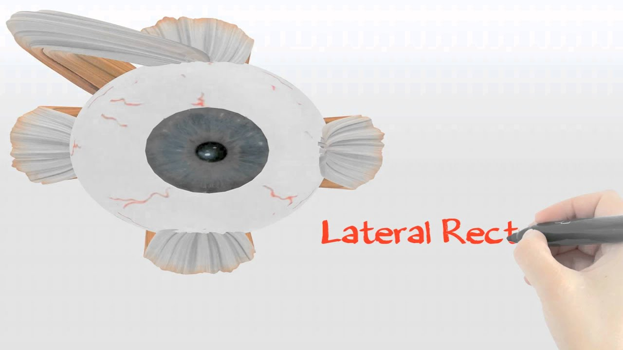 extra ocular muscles explained 3d medical animation~cooldude5757, Muscles