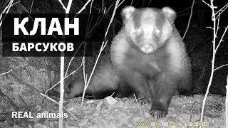 Барсуки! КЛАН, ЧЛЕНЫ и РАЗБОРКИ / трейлер / REAL animals
