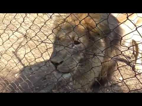 Lions, leopards, wild dogs, hyenas, voltures at Moholoholo Wildlife Rehabilitation!