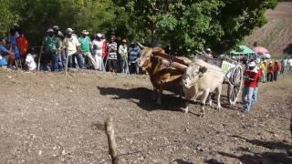 BoeufsTirants : une épreuve typique de Guadeloupe