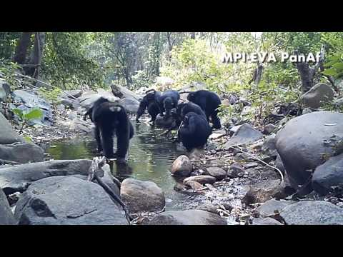 Chimpanzees Fishing For Algae With Tools In Bakoun, Guinea (PanAf)