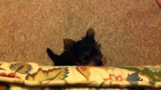 Yorkshire Terrier Puppy Too Small To Get On The Sofa!