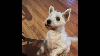 Dog on Hind legs | Max | West Highland Scottish Terrier