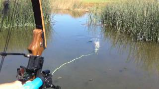 Repeat youtube video Bowfishing some common carp! Summer 2010