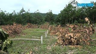 Chặt phá tàn nhẫn hơn 300 gốc cao su sắp đến ngày thu hoạch