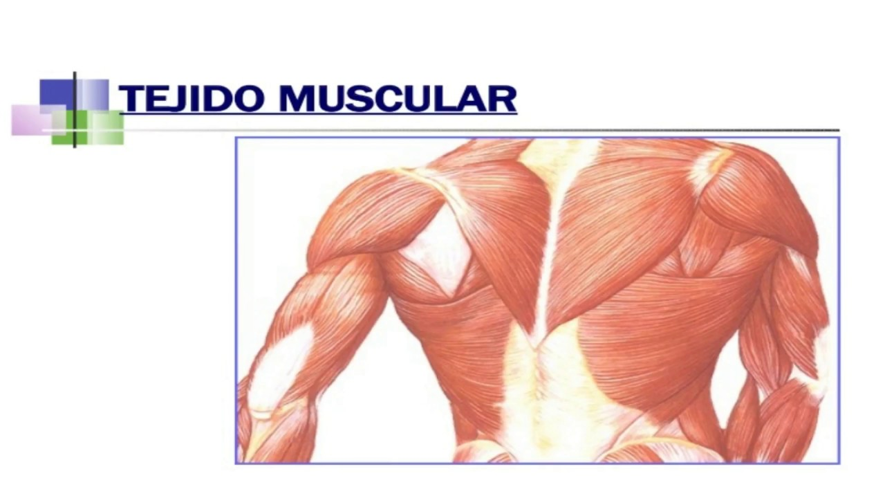 TEJIDO MUSCULAR 3 - YouTube