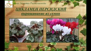 Цикламен персидский - как вырастить из семян