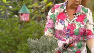 Harvesting Lavender Plants : Garden Space