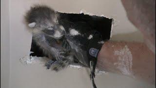 Baby Raccoon Desperate For Help