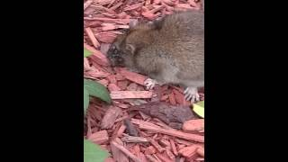 Rat gets eaten alive