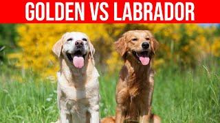 Labrador VS Golden Retriever (Dog Breeds Comparison)