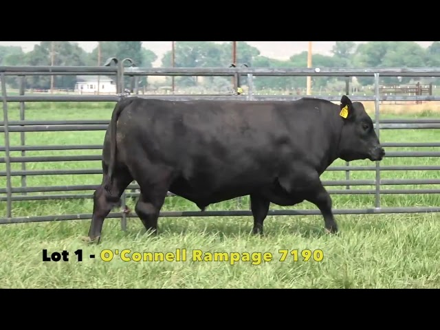 Black Gold Bull Sale Lot 1