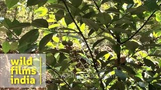 Nutmeg Cultivation In Kerala