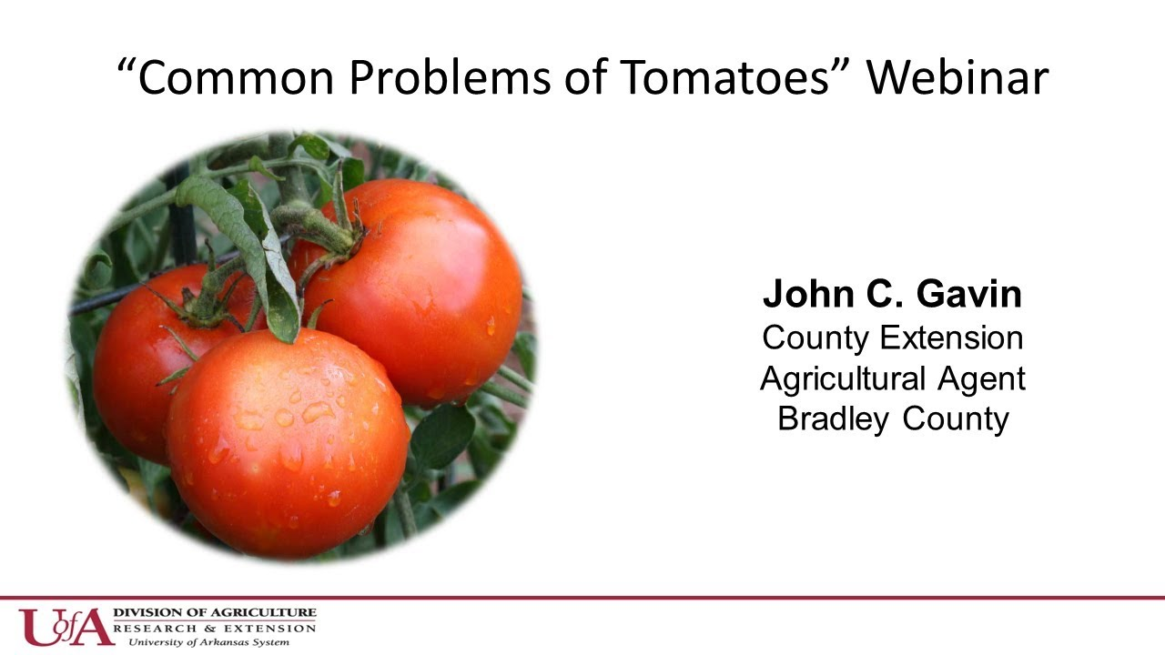How to grow tomatoes in Arkansas | Tomato diseases, issues