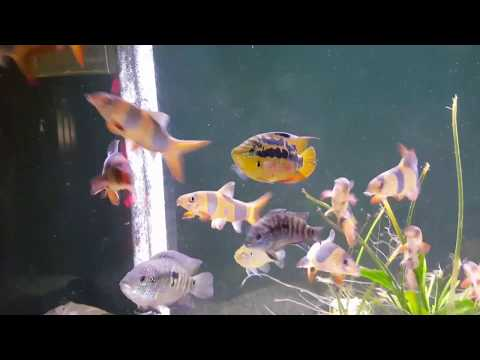 Clown Loaches, Jack Dempsy, Green Terror, Salvini, All for sale