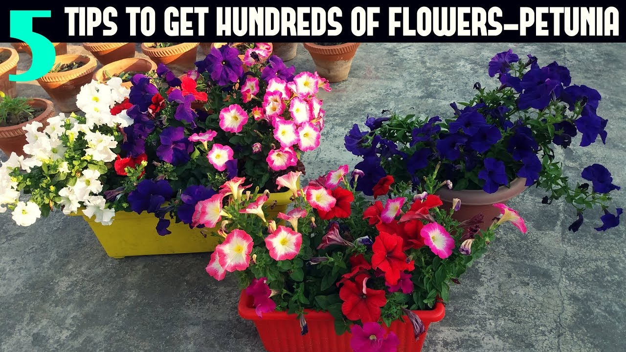 How To Keep Your Petunias Looking Full And Flowering Petunia Care