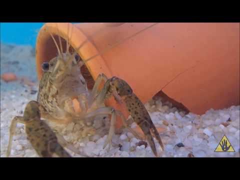 Understanding Crayfish: A Beginner's Guide | SlapHazard Films