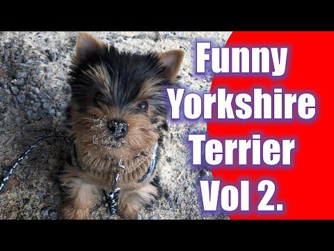 Yorkshire Terrier – Funny Adventures Volume 2.