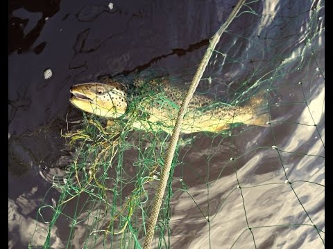 Gill Netting By Inland Fisheries Ireland.  Ballina Co Mayo  2015