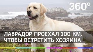 Лабрадор проехал 100 километров, чтобы встретить хозяина
