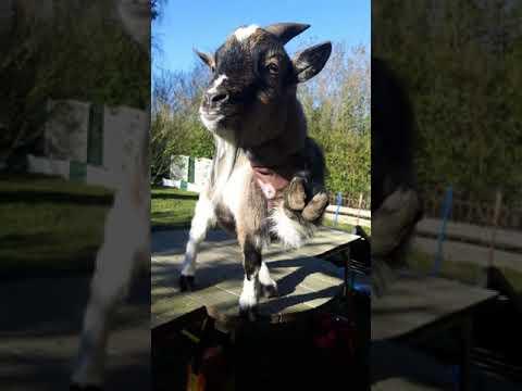 Goat Mr.Muesli waves / Ziege Mr.Müsli winkt