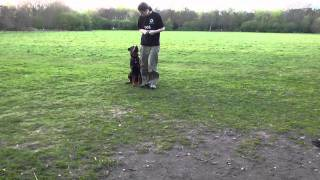 Rottweiler Puppy Training.  Off Lead Heelwork, Emergency Stop. Hades - 7 Months Old