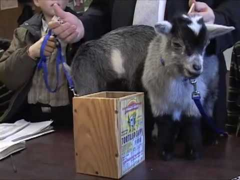 The Lakewood Cheder School Presents: Two Kids Goats