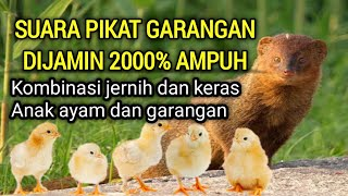 Suara Pikat Garangan Suara Garangan Jernih Suara Anak Ayam