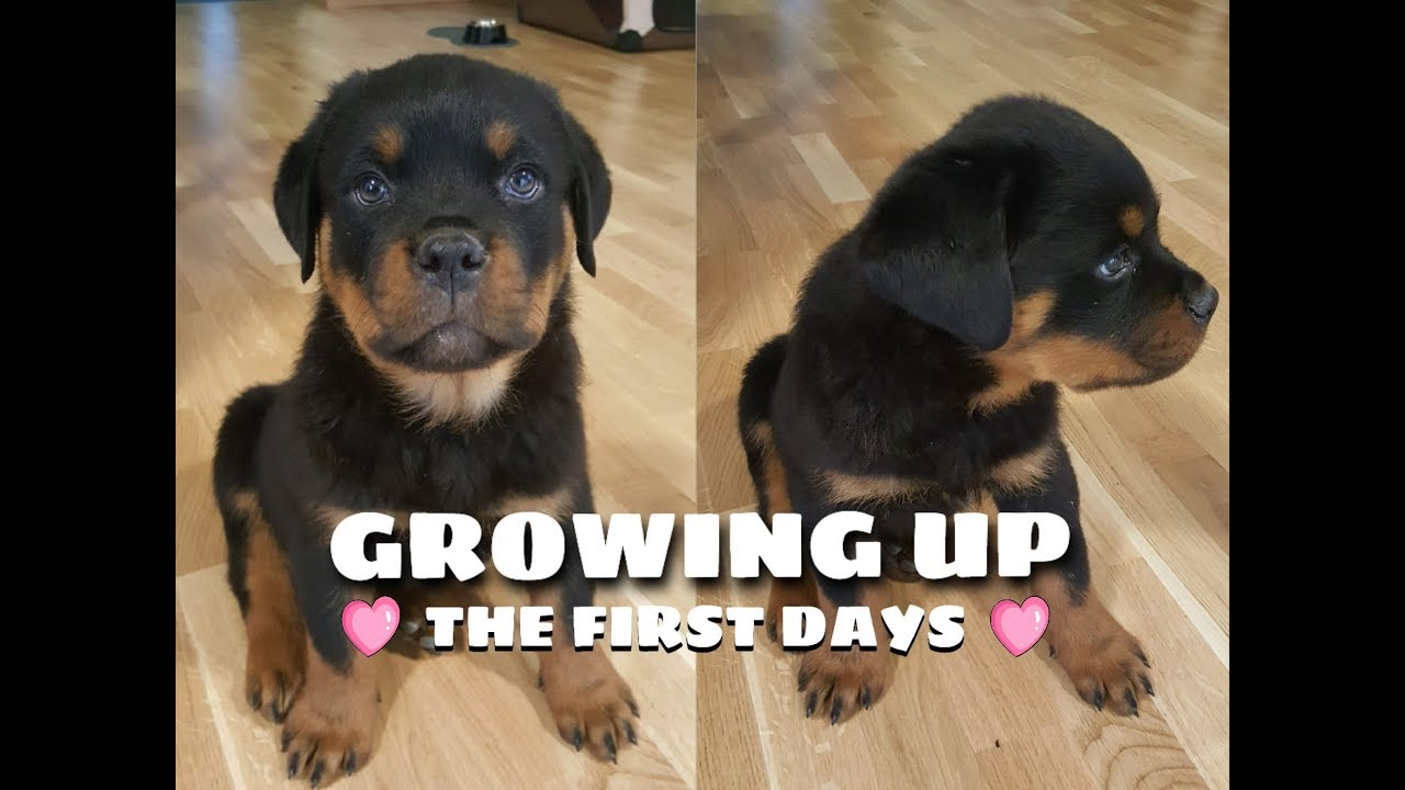 8 weeks old ROTTWEILER PUPPY - the first days home [1080p ...