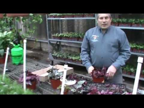 Rex Begonia Propagation
