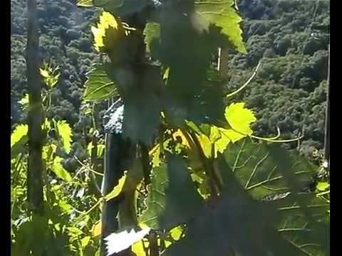 Trattamento della vite traitement de la vigne youtube - Traitement de la vigne ...