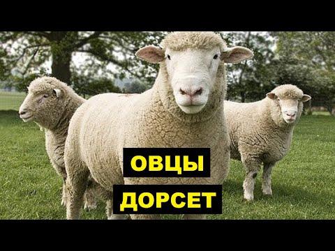 Вопрос: Чем отличается овца тонкорунной породы от обычной овцы?