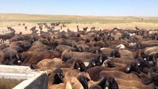 Южно Казахстанские овцы