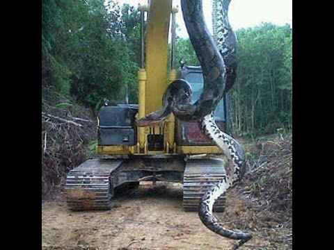 the largest snakes in the world