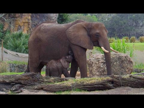 Caring for Giants   Disney's Animal Kingdom Tour