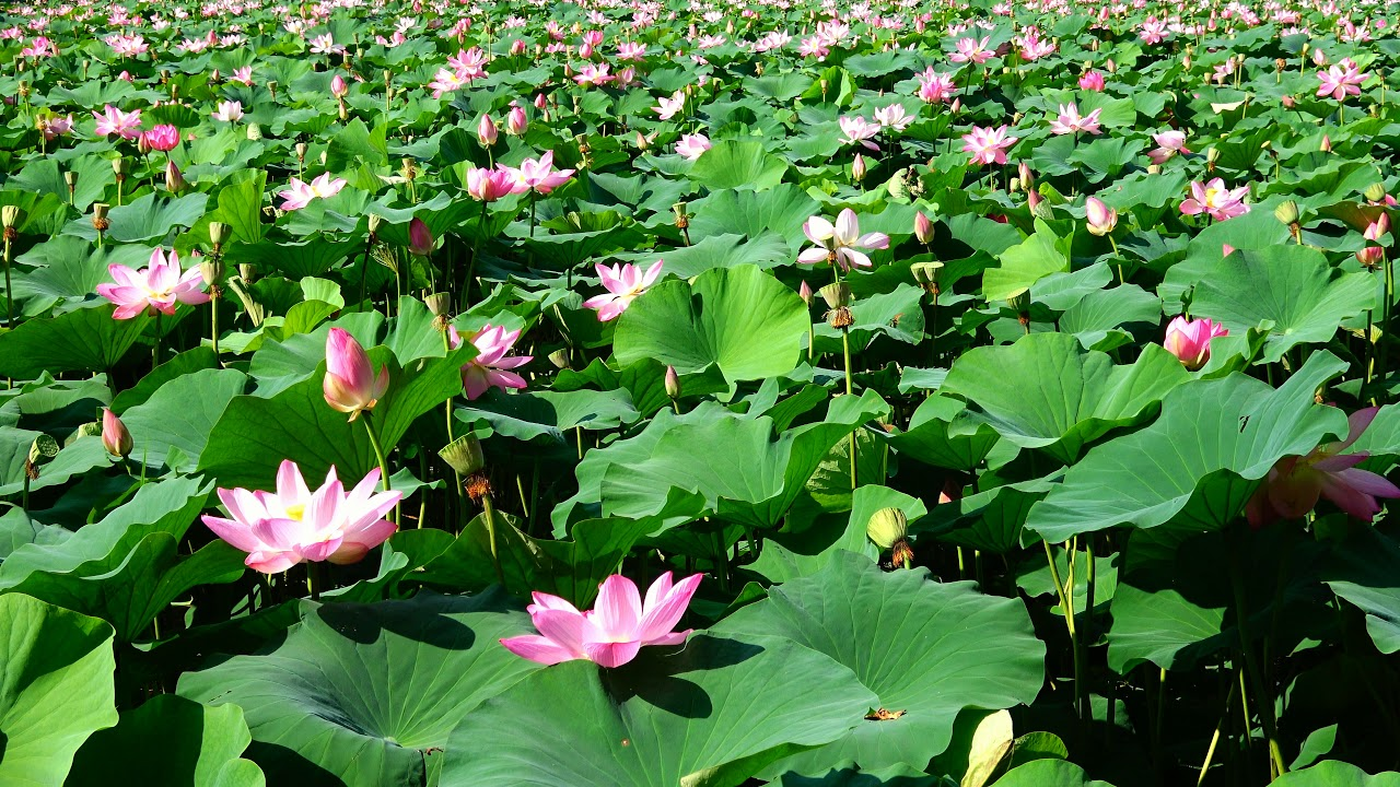 1 Hour Healing Video Nature Sounds Relaxing View Pink Lotus Flower