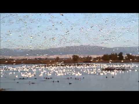 Snow Geese at Sacramento National Wildlife Refuge
