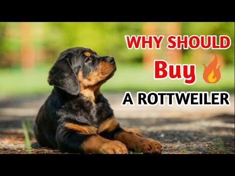 Why should we buy a Rottweiler / Rottweiler karde ya nahi /Rottweiler information