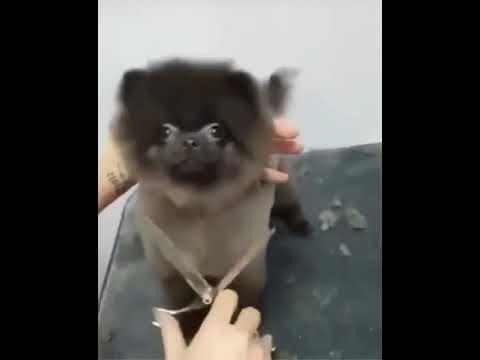 Dog dance while getting a haircut