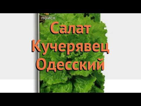 Салат обыкновенный Кучерявец Одесский Полукочанный 🌿 обзор: как сажать, семена салата