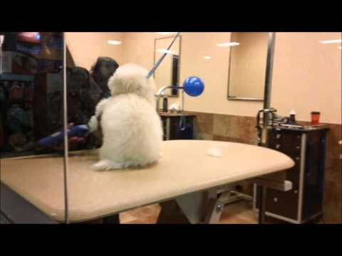 Zoey, the toy poodle gets groomed at a Petsmart grooming salon for the 1st time