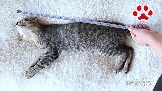 子猫達の体長を測ってみた 【瀬戸の三毛猫日記】Cats' Body Length thumbnail