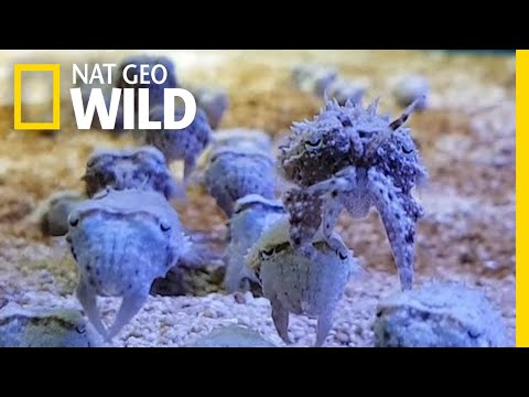 Cuttlefish Look Like Squid—and Like Crabs, and Like Algae, and Like Rocks   Nat Geo Wild