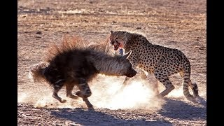 Hyena vs Cheetah real Fight - Wild Animals Attack