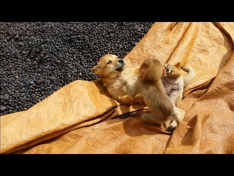 Baby Monkey Play Very Fun With Puppies